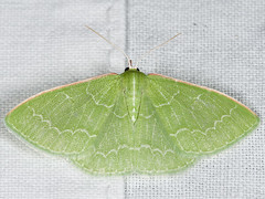 Synchlora aerata 20080714_2034 (GORGEous nature) Tags: yard washington moth july lepidoptera stevenson skamaniaco geometridae synchlora synchloraaerata geometrinae synchlorini mona7058 ©johndavis
