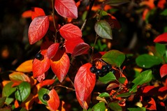 Autumn  - Berry Colorful (Photo Twister) Tags: autumn red color green leaves nikon berries d300 lens18200mm