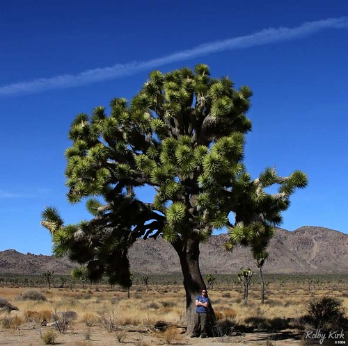 Largest Joshua Tree I've Seen