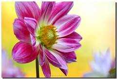 PINK DAHLIA (PHOTOPHOB) Tags: pink dahlia flowers autumn summer plants plant flores flower color macro nature fleur beautiful beauty fleurs petals spring colorful flickr dof estate blossom bokeh sommer herbst natur flor pflanze pflanzen rosa blumen zomer verano bloom otoo blomma vero dalie t blume fiore blomst asteraceae outono dahlias dalia frhling bloem jesie floro kwiat dahlie lato lto sonbahar dahlien kvt blomman efterr blomsten dalio colourartaward photophob alemdagqualityonlyclub