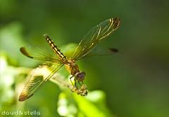 Hello, my friend! (1davidstella) Tags: dragonfly best bestofthebest blueribbonwinner bej abigfave anawesomeshot specinsect macromix macromarvels fbdg gnneniyisi multimegashot abovealltherest alittlebeauty dragondaggeraward worldclassnaturephoto worldclassnaturephotos flickrenvythebesttm