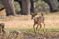 Fawn Following