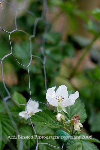 raspberry blooms