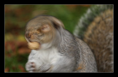 shake your nuts (felt_tip_felon) Tags: autumn rodent squirrel greysquirrel priorypark