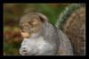 shake your nuts (felt_tip_felon®) Tags: autumn rodent squirrel greysquirrel priorypark