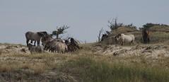 aan het werk (Ren Mouton) Tags: horses holland d50 coast nikon hiking dunes nederland thenetherlands nikond50 naturereserve bergen duinen noordholland wandeling paarden kust natuurgebied equuscaballus grazers noordhollandsduinreservaat 17augustus2008
