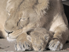 Asha & Chakra, Indian lions (gentle lemur) Tags: cub mother chesterzoo indianlion