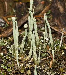 Cladonia ochrochlora 'Smooth-footed Powderhorn' (?) (dougwaylett) Tags: wild canada native alberta cladonia fruticose fruticoselichen cladoniaochrochlora brownloweryprovincialpark smoothfootedpowderhorn