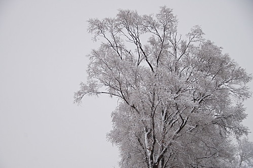 Monday's Snowy Trees