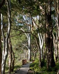 story book picture (nosha) Tags: trees nature beautiful beauty gum nikon natural tea oz australia qld queensland noosa eucalyptus 2008 downunder noosaheads d300 teatree nosha australia2008 noshalikes