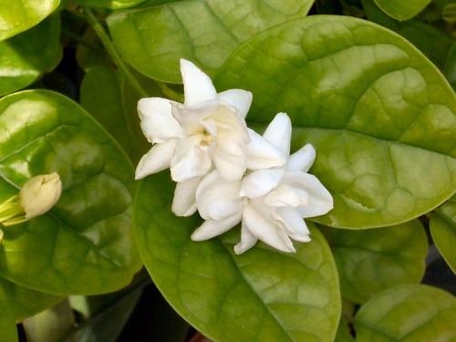 Jasmines in Dadi's Garden
