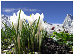 Crocus (Vestaligo - Vacation with Internet connection) Tags: flowers blue sky white mountains flower spring himmel crocus berge blume krokus frhling gebirge weis highmountains mallmixstaraward