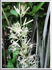 Close-up of Sansevieria trifasciata 'Bantel's Sensation' (White Sansevieria)