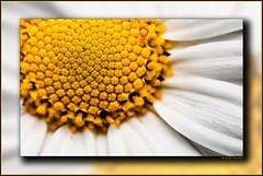 Margriet (erwin.morsink) Tags: white flower macro yellow daisy geel wit bloemen bloem kleuren margriet