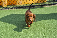 Dachshund Pool Party 2011 (65)