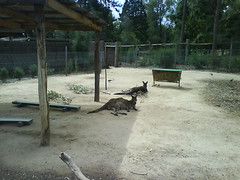 Kangaroos chillin' in the Outback Zone