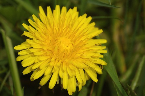 Taraxacum officinale - Paardenbloem. Foto: AnneTanne - Creative Commons License