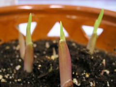 Gladiolus sprouts