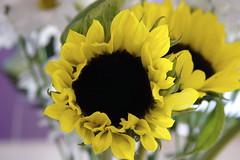 SUNFLOWERS 08 (jodi_tripp) Tags: flowers white yellow spring cheery bokeh sunflowers daisy joditripp spring08 challengeyouwinner wwwjoditrippcom photographybyjodtripp
