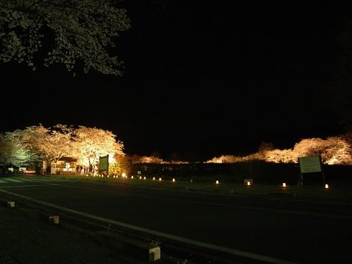 石舞台古墳(夜桜)-01