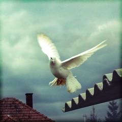 páva / peacock pigeon (.e.e.e.) Tags: white paloma blanca golub galamb abigfave superbmasterpiece theperfectphotographer