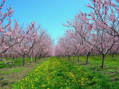 Rows of Peach Blossoms (haunted snowfort) Tags: pink trees ontario canada fruit spring farm blossoms may peach orchard niagara rows lincoln peachblossom fruittrees beamsville tenderfruit