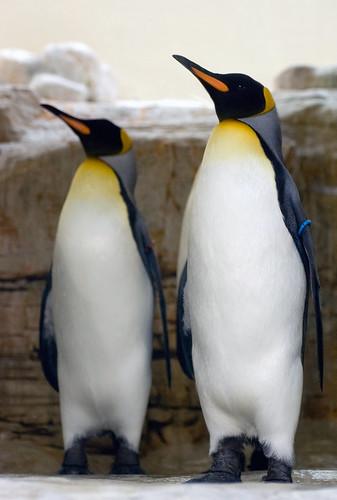 Proud Emperor Penguins