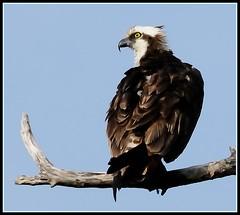 Osprey (NikonJim) Tags: bird nikon raptor 70300mmf456g osprey pandionhaliaetus fisheagle fishhawk seahawk d300 allrightsreserved nikonjim