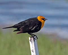 Yellow Headed Blackbird (Team Hymas) Tags: wildlife refuge malheur specanimal avianexcellence