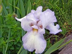 Backyard Beauty (star_cosmos_bleu) Tags: flowers light soe artisticexpression pastelcolors lifeasiseeit supershot mywinner anawesomeshot diamondclassphotographer flickrdiamond brillianteyejewel