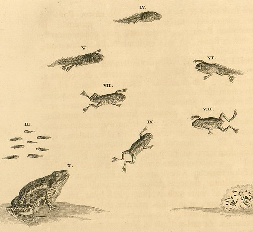 Surinam - tadpole to frog