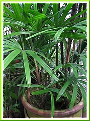 Rhapis excelsa (Lady Palm) has broken its pot. Shot June 2008