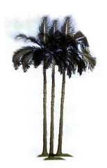 alexander palm (rhmn) Tags: tree palms landscaping alexander plans ideas