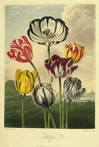 06- Tulipanes