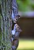 Kiss me quick! (Chris Beesley) Tags: nature squirrels pentax nt super tamron dunhammassey 70300 kissmequick k100d mywinners abigfave