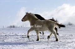 lz260105x(30) (Lothar Lenz) Tags: schnee winter horse caballo cheval cavalo pferd hest equus paard hst fohlen hestur konj hobu zirgs fjordpferd lotharlenz