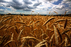 [フリー画像] 自然・風景, 田畑, イネ科, 小麦・コムギ, 200807120500