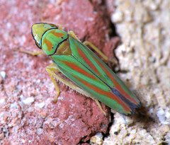 It's A Contest! (zxgirl) Tags: night bug insect flash insects bugs mybackyard hopper leafhopper leafhoppers s5 hoppers hemipteran dcr250 raynox hemiptera graphocephala cicadellidae auchenorrhyncha hemipterans cicadoidea cicadellinae img8462c