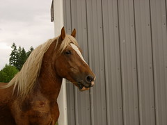 Spencer the Draft Stallion Rescue (m'cookies actual) Tags: horse spencer stallion drafthorse horserescue mcookiesactual