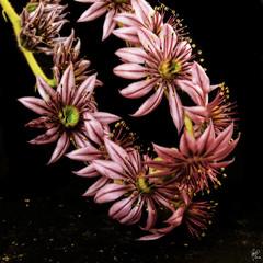Floricactus Galaico Amistoso (Paco CT) Tags: pink cactus black flower color spain negro flor rosa explore galiza 2008 vegetal ourense barbadas ltytr1 pacoct