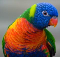 parrot (Sandy Beach Cat) Tags: uk blue red orange color colour green bird eye nature zoo scotland edinburgh beak feather parrot