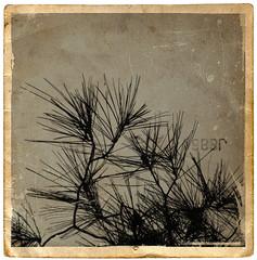 no regrets (*Leanda) Tags: tree photoshop vintage textures fir layers needles