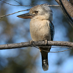 Blue-winged Kookaburra. (Greg Miles) Tags: australia kimberley bluewingedkookaburra westernaustralia daceloleachii purnululunationalpark bunglebunglerange