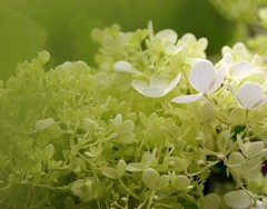 My 1000th Picture (bluehazyjunem) Tags: midsummer picture hydrangea 2008 1000th aplusphoto theunforgettablepictures 軽井沢植物公園