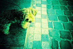 puppy woof woof (golfpunkgirl) Tags: street brussels dog film puppy fun happy lomo lca xpro lomography crossprocessed sunny photowalk cobbles kodakelitechrome thelittledoglaughed