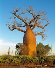 Фото 1 - Суперфрукт из Сенегала