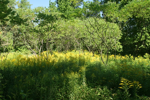 Sumac canopy with goldenrod colony