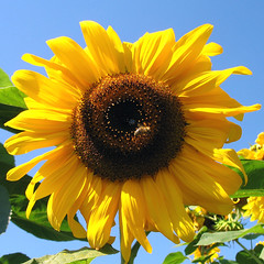 My Sunflower Wishes You Sunny Days ... (Batikart ... handicapped ... sorry for no comments) Tags: travel blue light shadow summer sky sun plant flower green nature yellow canon germany square geotagged deutschland flora europa europe blossom sommer natur pflanze meadow wiese himmel f100 bee gelb sunflower grn blau blume blte sonne biene canonpowershot a610 sonnenblume badenwrttemberg swabian schorndorf canonpowershota610 helianthusannuus 100faves 200faves mywinners viewonblack colorphotoaward holidaysvacanzeurlaub favemegroup7 batikart