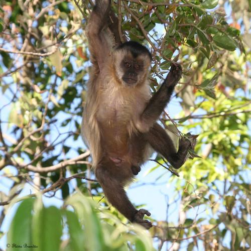 Série com o Macaco Prego (Cebus apella) - Series with the Capuchin monkey - 24-08-2008 - IMG_20080824_9999_154