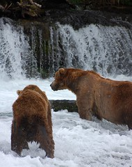 Brooks Falls (Scott Michaels) Tags: bear usa nature alaska nationalpark nikon wildlife coastal ursus brownbear salmonrun ursusarctos brooksfalls katmai brooksriver d40 katmainationalpark nikkor70300vr goldwildlife